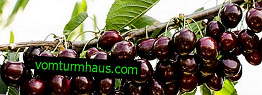 Cordia sweet cherry variety: description, planting and care