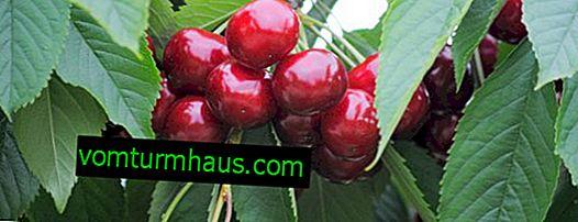 Funktioner ved plantning og pleje af kirsebær Fuldt hus
