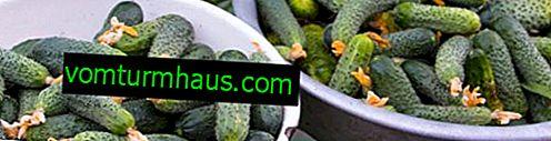 Характеристики на засаждане и грижи за краставици Криспин