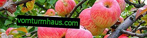 Cechy rosnących odmian jabłek Dywan