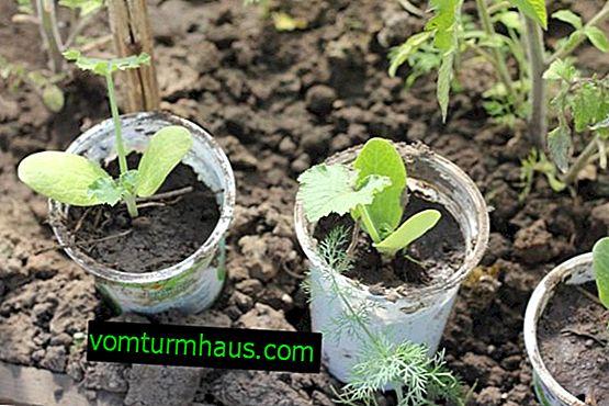 Характеристики на отглеждане и грижа за разсад от тиквички