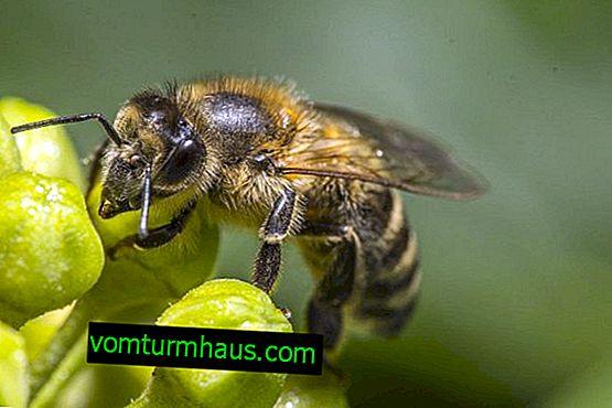 Cechy i cechy charakterystyczne pszczół środkowo rosyjskich