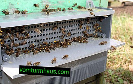 Značilnosti nabiranja cvetnega prahu v čebelnjaku
