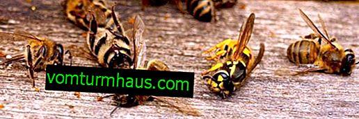 Varför dör bin