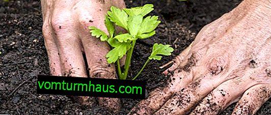 Caractéristiques de la culture et de l'entretien des plants de céleri
