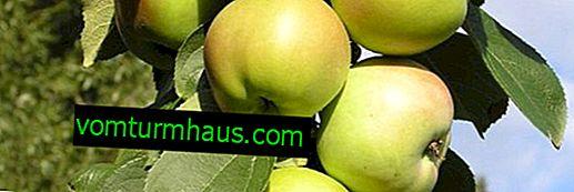 Rysy kultivace sloupcového kultivaru jabloní Medoc