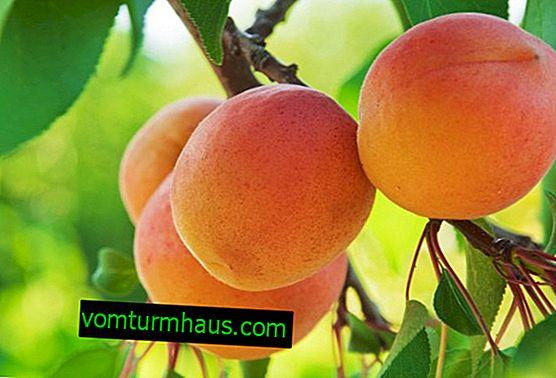 Prečo marhuľový strom neprináša ovocie?
