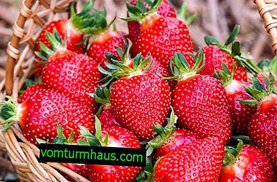 Features of growing strawberry varieties Corona