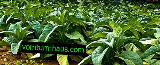 Tobaks Havana: vokser og plejer sorten