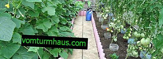 ¿Qué es mejor plantar en un invernadero con tomates?
