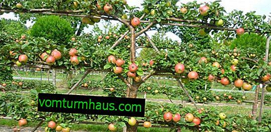 Características do cultivo de macieiras de treliça
