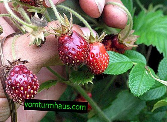 Wie man einen Fadenwurm auf einer Erdbeere loswird?