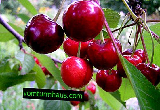 De vigtigste træk ved plantning og pleje af kirsebær Tyutchevka