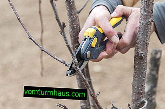 Kdy a jak snížit na podzim třešně