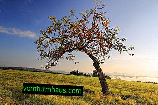Продължителност на живота на ябълковото дърво