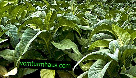 Tobacco Virginia 202: domácí pěstování
