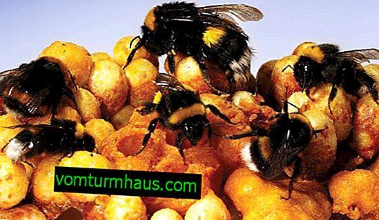 Bumblebee uzgoj kod kuće