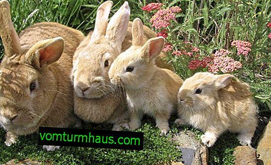 Vid vilken ålder behöver kaniner separeras från kaniner?