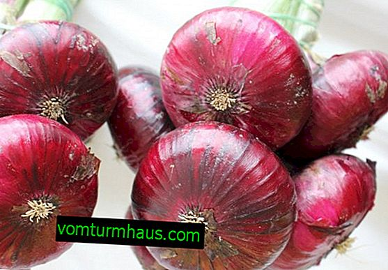 Features of cultivation and care of onion variety Yalta