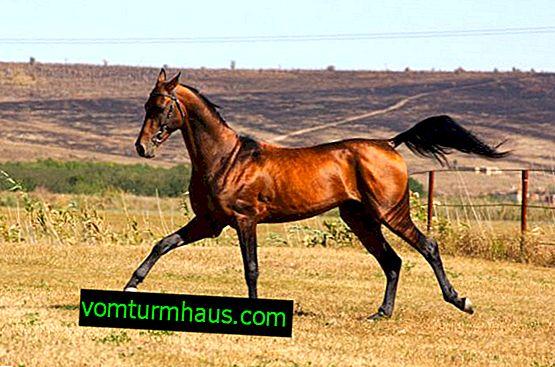 Akhal-Teke, race de chevaux: description, élevage, éducation et soin