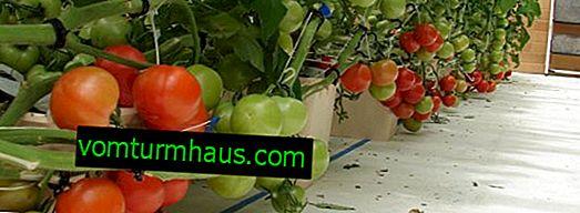 Culture hydroponique de tomates à la maison