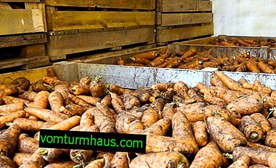 Hlavné príčiny hniloby mrkvy v pivniciach