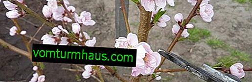 Funktioner för korrekt persikaskärning på våren