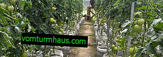 Features of growing tomatoes in the Urals in a greenhouse