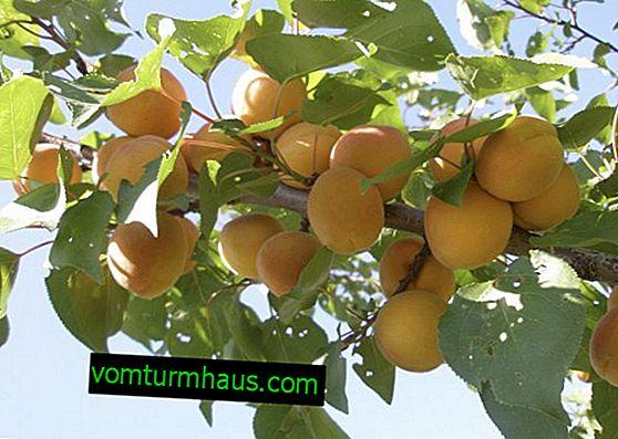 Funktioner ved udplantning og pleje af sorten Amur abrikos