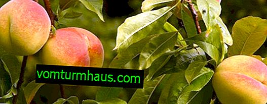 Sjukdomar, skadedjur av persikaträd och deras behandling