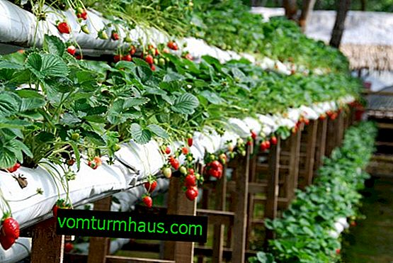 Wachsende Erdbeeren in Taschen zu Hause