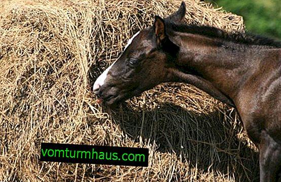 Какво ядат коне: списък на разрешените продукти, преглед на фуражите, основни правила за хранене