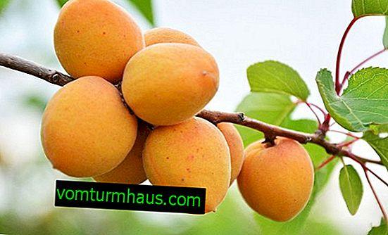 Funktioner av plantering och vård av aprikos i mittbanan
