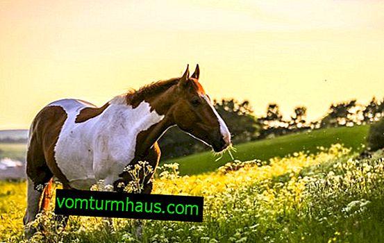 Hur många hästar lever - vad bestämmer livslängden och hur man bestämmer ålder