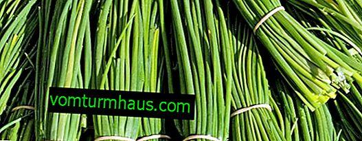 Opis i karakteristike zelenog luka