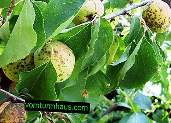 Malattie degli alberi di albicocca e loro trattamento