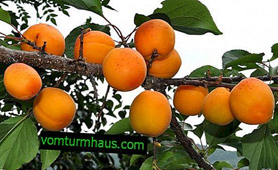 Značilnosti gojenja in karakterizacija sorte marelic Med