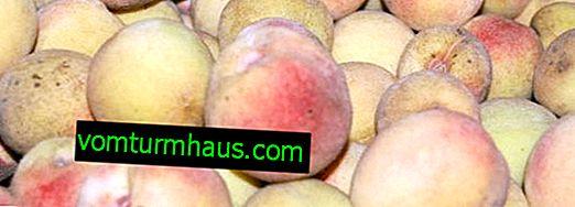 De viktigaste reglerna för odling av persika sorter White Swan