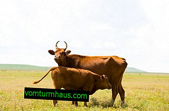Kalmyk breed of cows: description, care and feeding