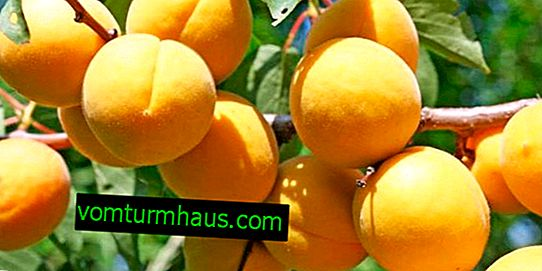 Description and characteristics of the apricot variety Dessert