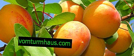Variedades de albaricoque Souvenir Zhigulevsky: características y características del cultivo