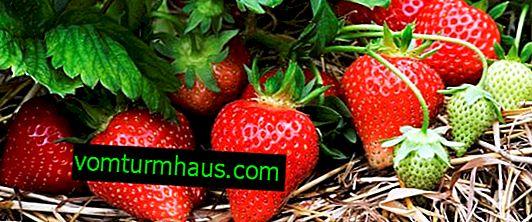 Comment faire un lit de fraises