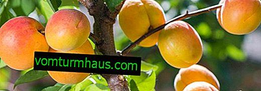 Cechy sadzenia i uprawy odmian moreli Brzoskwinia