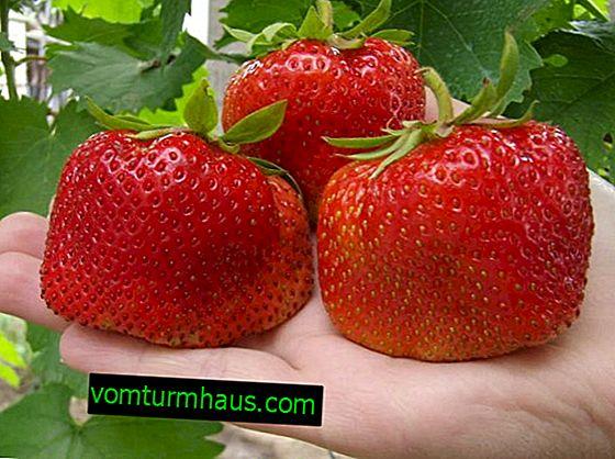 Pravidlá pestovania a starostlivosti o jahody Vicoda