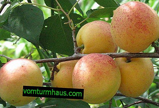 Caractéristiques de la variété d'abricot Sardonyx