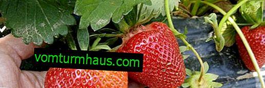 Beskrivelse og voksende Tsunaki jordbær