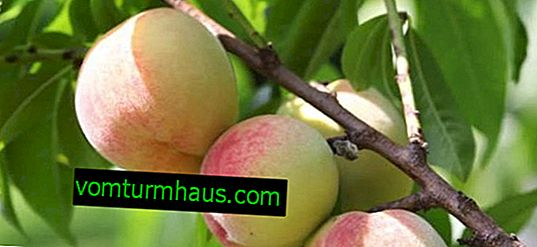 Характеристики на Greensboro Peach