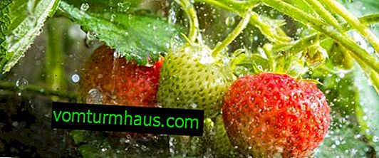 Strawberry Processing
