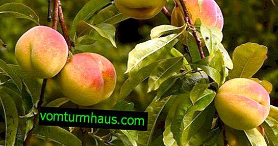Značajke uzgoja breskve Sibiryak
