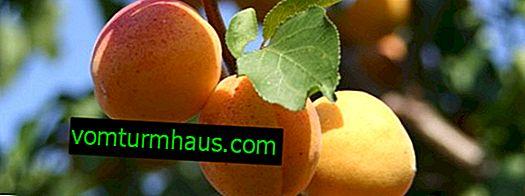 Beskrivelse af abrikos sort Ulyanikhinsky, reglerne for dens dyrkning